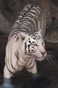 vividessentials:White Bengal Tiger   vividessentials