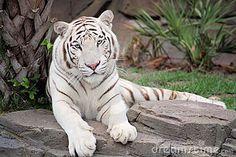 tigre branco - Pesquisa Google
