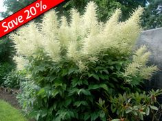 Goatsbeard makes an impressive performance in late spring in the garden with its feathery white flowers