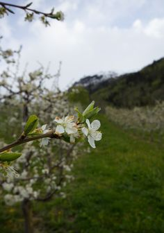 Fruit trees are blooming. Hardanger fjord, Norway