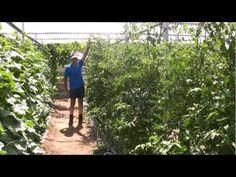 ▶ El cultivo del tomate - YouTube