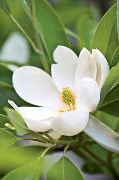 """Sweetbay Magnolia is an evergreen tree that grows up to 35' tall and features cup-shaped, sweetly fragrant (lemony), creamy white, waxy flowers (2-3"""" diameter) which bloom May to June. A native to the southeastern US, it grows best in sun to part shade in zones 5-10."""