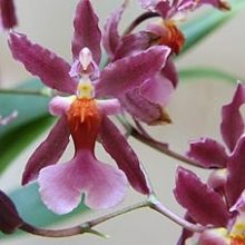Oncidium Orchid, Sherry Baby - Wholesale Flowers for weddings and events – Wholesale Florist – Floral, Floral Supply, Flower Distributor Orchid Varieties, Wedding Flower Packages, Daisy Wedding, Flower Packaging, Oncidium Orchid, Burgundy Flowers, Pantone Color, Amazing Flowers, Wedding Inspiration