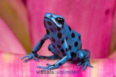 Blue and Black Poison Frog (Dendrobates auratus)