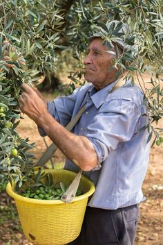 This one shows grandpapa picking olives on the rancho in Spain. Olive Garden Italian Restaurant, Olive Harvest, Harvest Time, Palestine Art, Italian People, Italian Olives, Italian Traditions, Olive Gardens, People Eating