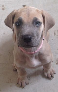 Blue Masked Fawn Great Dane Puppy #greatdanepuppy