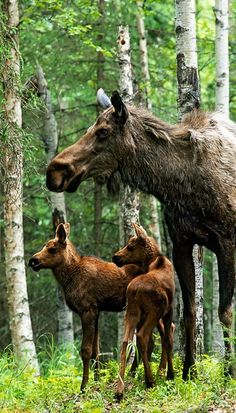 Moose twins and their mother - woodland creatures / forest animal pictures / photography Nature Animals, Animals And Pets, Baby Animals, Cute Animals, Animals Planet, Wild Animals, Wild Life, Beautiful Creatures, Animals Beautiful