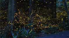 Long exposure photographs of fireflies by Tsuneaki Hiramatsu