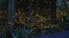 long exposure fireflies