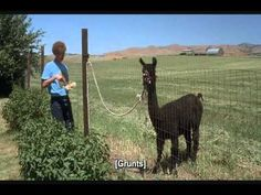 """""""Tina, you fat lard. Eat the food!"""" I would be nicer to my llama, especially at dinnertime."""