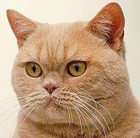 Kitty Cat Meow: Cream British Shorthair - Shorthair  Like my Lulu!!