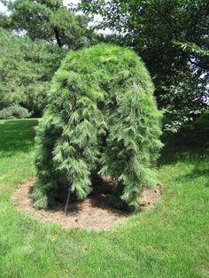 Pinus densiflora Pendula :: Квітковий сад Ірини Ковальчук