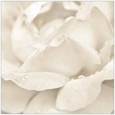 White Rose with Dew Photography by Eazl, Size: 12 x 12, Silver