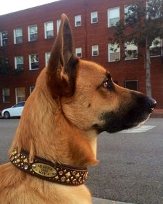Dogs In Collars | Paco Collars: Custom Leather Dog Collars