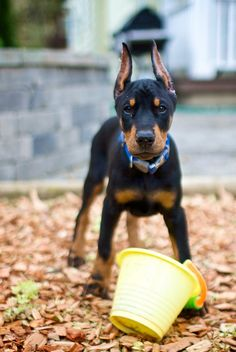 """i smelled a treat in this pail, where is it now human??"" #Doberman #puppy"