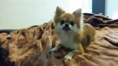 Kira Chihuahua   Pawshake Wilrijk