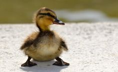 See These High School Students Save Ducklings! #teachkindness