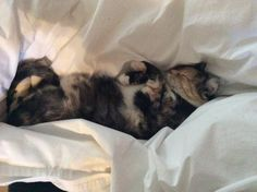 Vic napping in duvet