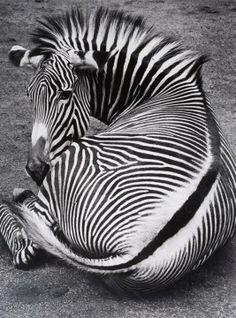 Grevys Zebra, Amsterdam, 1992