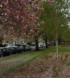 So many cherry blossoms I struggled to cycle through the park! #edinburgh #scotspirit #visitscotland