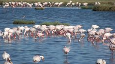 busy flamingos