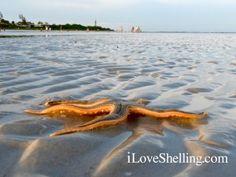 live starfish at sanibel lighthouse beach Sanibel Lighthouse, Beach Keepsakes, Sanibel Florida, Captiva Island, Destin Beach, Starfish, Sea Shells, Coast, Waves