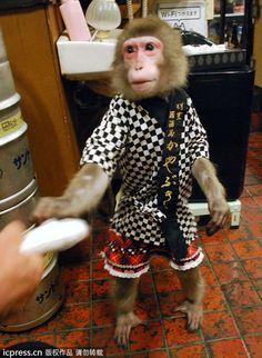 遞毛巾還會收拾餐桌 日本居酒屋猴子店員「小福」超紅