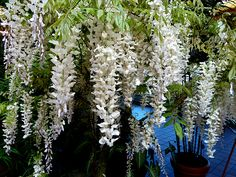 Wisteria. These were the flower's hanging (160,000 strands) in Twilight Breaking Dawn wedding scene. gorg.