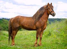 Russian tyazhelovoznaya - photos - equestrian.ru ;   Russian Heavy Drought