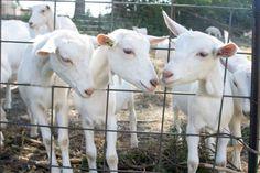 #goatvet likes this photo of Saanen kids from Baetje Farms, USA