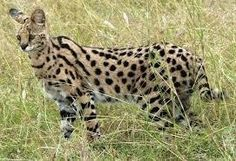 Animals Up Close: African Serval Cat Pittsfield, MA #Kids #Events