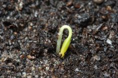 Gardening master Maureen Farmer dishes the dirt on fertilizer. Help your organic garden grow with these tips! Spring Vegetable Garden, Seed Germination, Organic Gardening Tips, Organic Vegetables, Growing Vegetables, Grow Your Own Food, Gardening For Beginners, Garden Styles, Garden Design