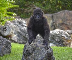 El pequeño gorila Ebo cumple 23 meses. Bosque ecuatorial de Bioparc Valencia | Ebo, the baby gorilla, meets 23 months | www.bioparcvalencia.es