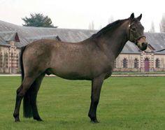 Poetic Justice, 1998 Connemara Pony stallion by Ballydonagh Cassanova.