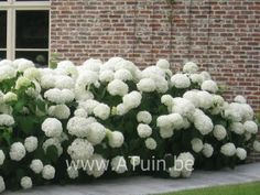 de hortensia annabelle, prachtig voor in mijn nieuwe border