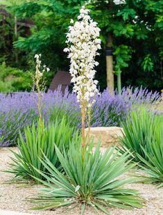 Yucca Filamentosa, Adam's Needle, Carolina Silk Grass, Needle Palm, Our Lord's Candle, Spoonleaf Yucca, Thready Adam's Needle, evergreen shrub, Spanish Bayonet