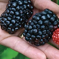 Purchase our Giant Kiowa Blackberry. Measures up to 3 long and weighing grams! Plus, great flavor and ample size make Giant Kiowa the perfect choice f. Growing Blackberries, Growing Grapes, Thornless Blackberries, Blueberries, Aquaponics Fish, Aquaponics System, Hydroponics, Aquaponics Greenhouse, Blackberry Plants