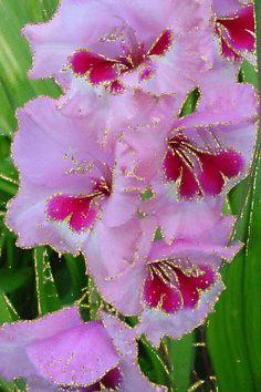 Гладиолусы Exotic Flowers, Tropical Flowers, Summer Flowers, Amazing Flowers, Purple Flowers, Beautiful Flowers, Gladioli, Gladiolus Flower, Pink Plant