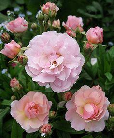 Cornelia hybrid musk  ---  Thornless & fragrant.