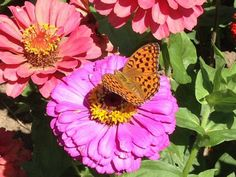 """""""Zinnie con farfalla"""" 30x40, Fotografia, 2015 Angela Vecchio.   Scatto semplice ma che rappresenta tutta la bellezza di Madre Natura."""