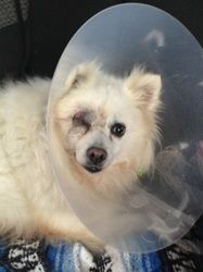 Winky the Eskie is an adoptable American Eskimo Dog Dog in Surrey, BC. Winky is a sweet girl that was found running at large. When notified, her owners never came to get her.� Winky needed to be spaye...