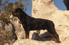 The rottweiler, a courageous protector of family, is known to shower his humans with love and affection. Choosing a rottweiler puppy with quality traits from a reputable breeder saves you trouble down the road when your puppy matures into a full grown adult.