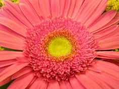 Just recently learned that this beautiful favorite flower of mine is actually called a Gerbera Daisy :)