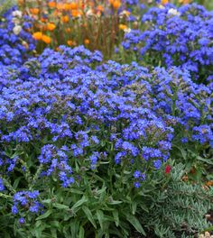 Anchusa capensis Blue Angel Summer Forget Me Not