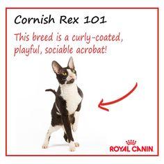Cornish Rex #cat