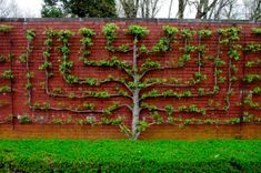 Espaliered Fruit Tree also called a Wall Tree - The term espalier also refers to the plant itself grown in this way. Originally the term espalier defined only the trellis or frame on which the plant was trained. Garden Trees, Garden Art, Garden Design, Vertical Gardens, Small Gardens, Espalier Fruit Trees, Unique Garden, Baumgarten, Growing Tree