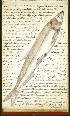 White salmon trout, 1806, Lewis & Clark Journals, Meriwether Lewis