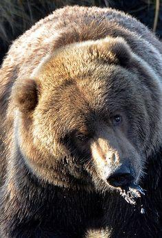 kodiak bear by landlover2009, via Flickr