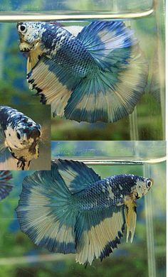16 Most Beautiful Types of Betta Fish - meowlogy Pretty Fish, Cool Fish, Beautiful Fish, Animals Beautiful, Betta Fish Care, Colorful Fish, Tropical Fish, Aquariums, Cutest Animals