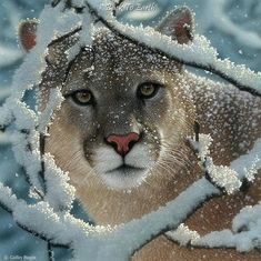Did you know that cougars, mountain lions, and pumas are all the same big cat?